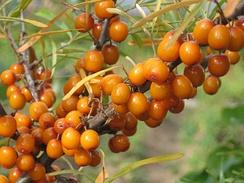 Зрелые плоды облепихи