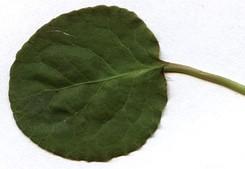 Pyrola-rotundifolia-leaf-front.jpg