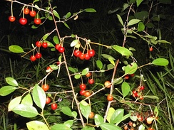 Вишня кустарниковая (степная). Северный ареал. Высота растений не превышает толщину снежного покрова зимой