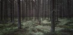 Сплошной еловый лес